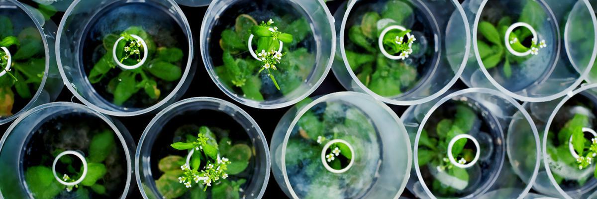 arabidopsis growing in arasystem